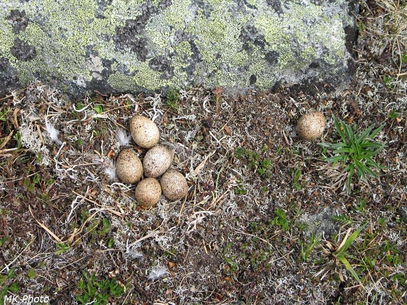 Гнездо куропатки