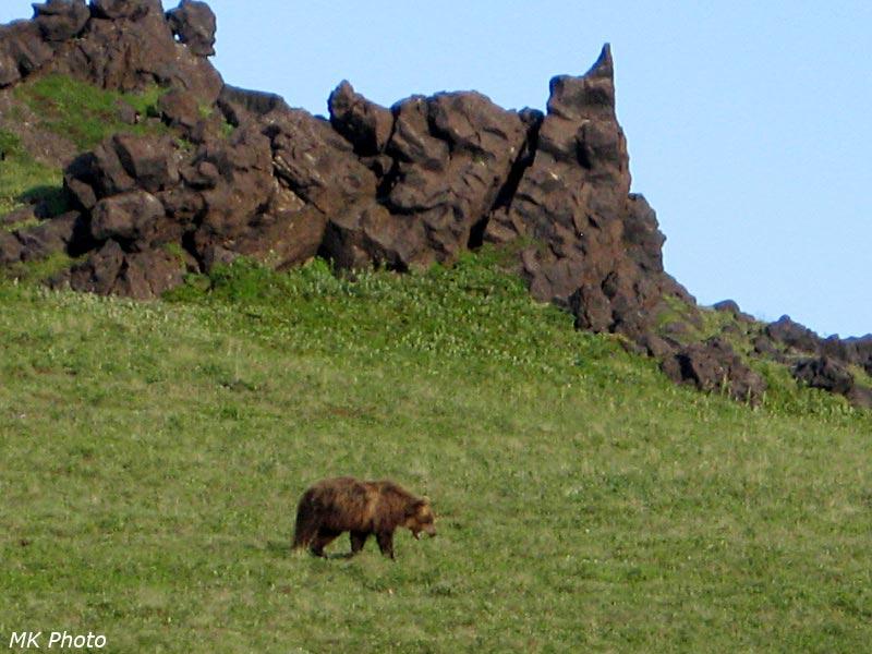 Медведь зевает