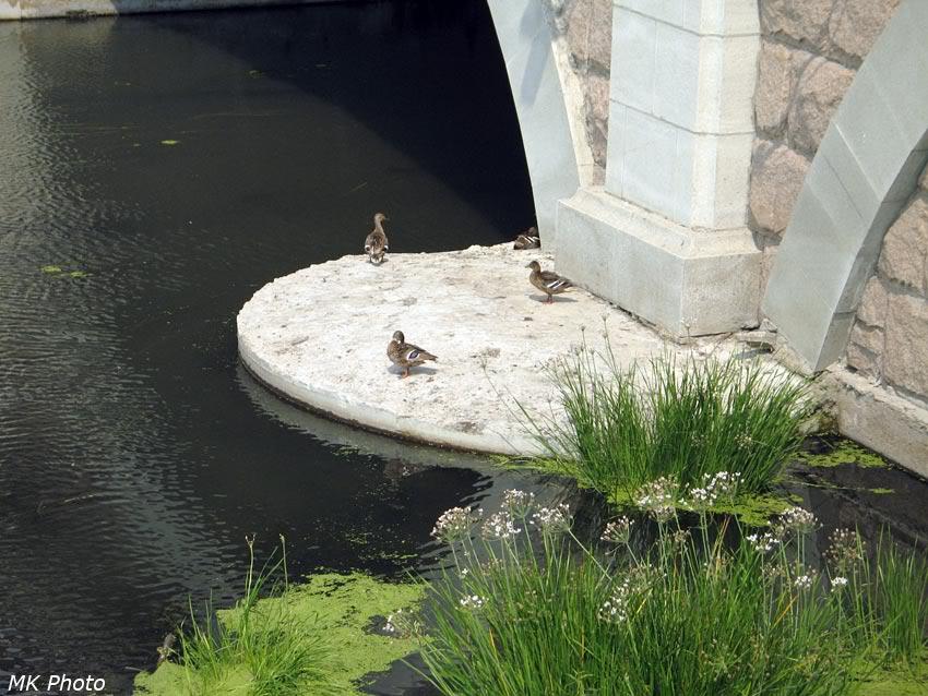 Утки под мостом
