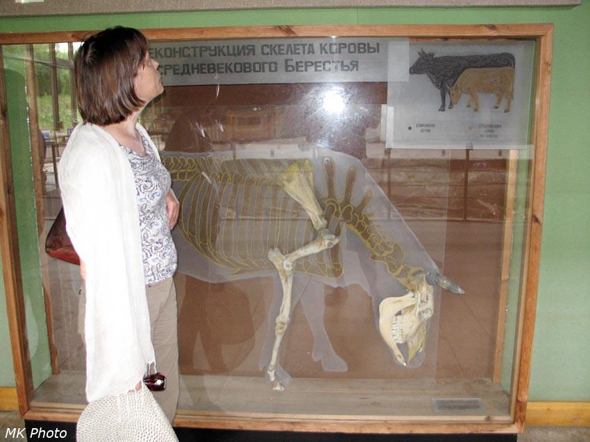 Коровы в Средние века были значительно меньше современных