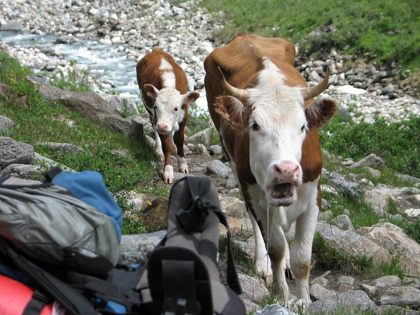 Заболевшая корова