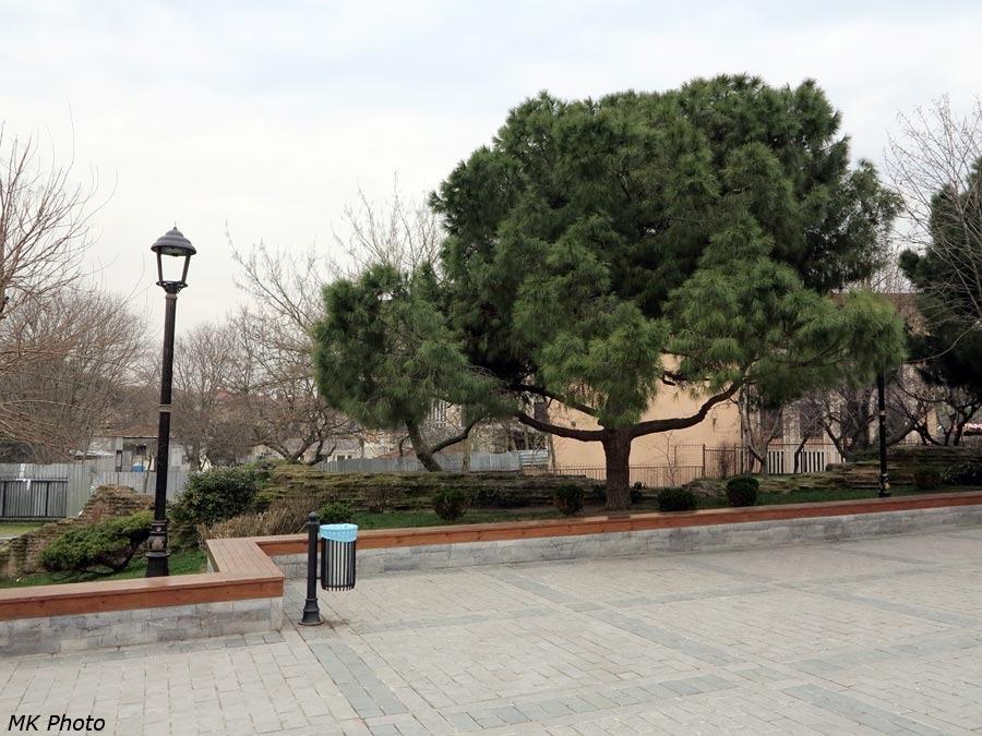 Хвойное дерево в Стамбуле