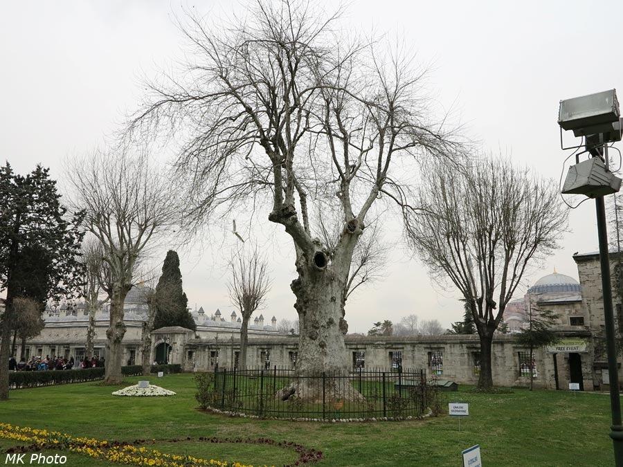 Какое-то древнее дерево за загородкой
