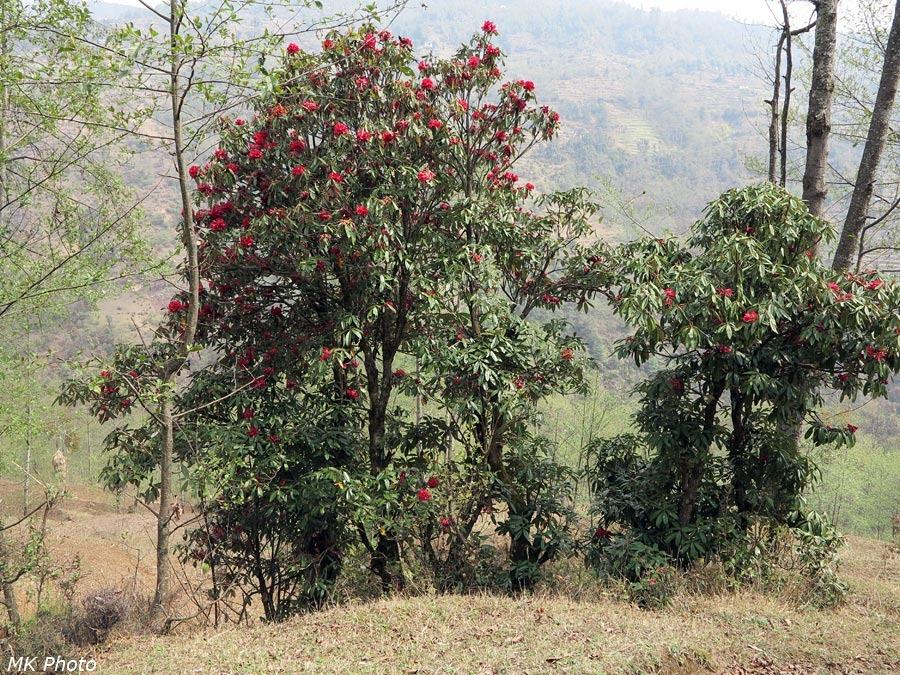 Цветущие рододендровые деревья