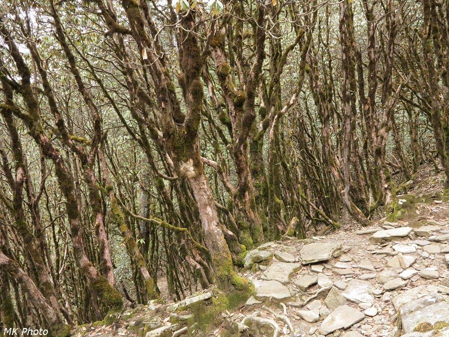Рододендровый лес