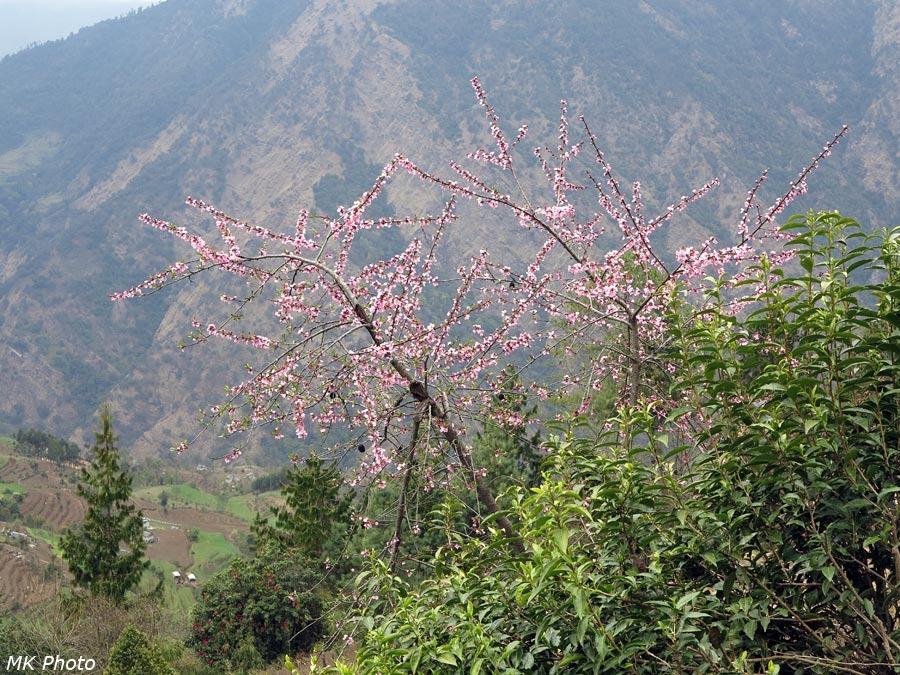 Непальская сакура