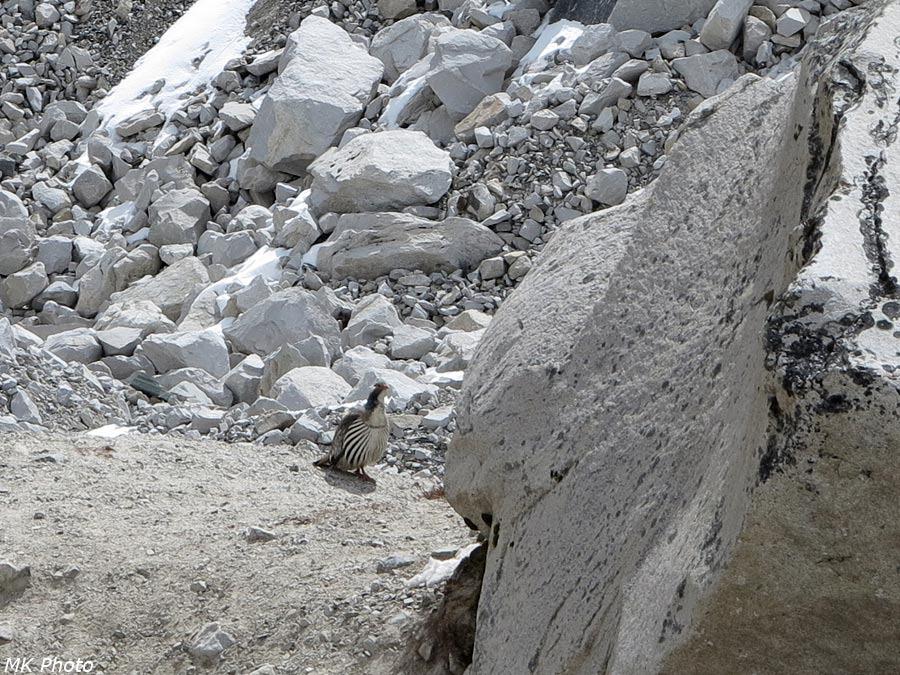 Гималайский улар