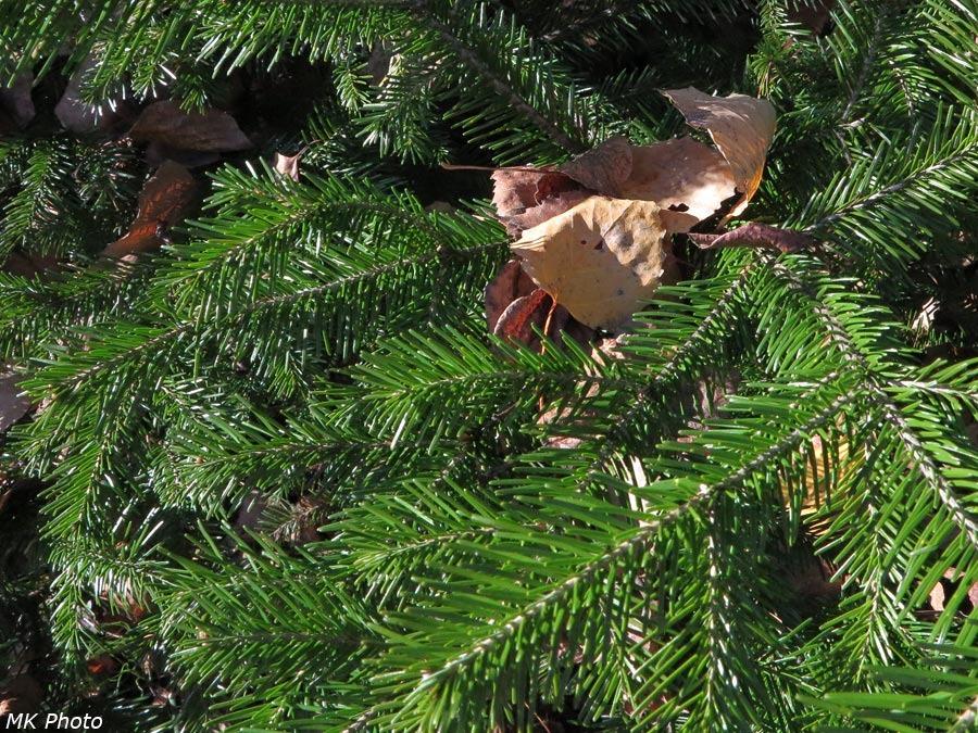 Листья упали на пихту
