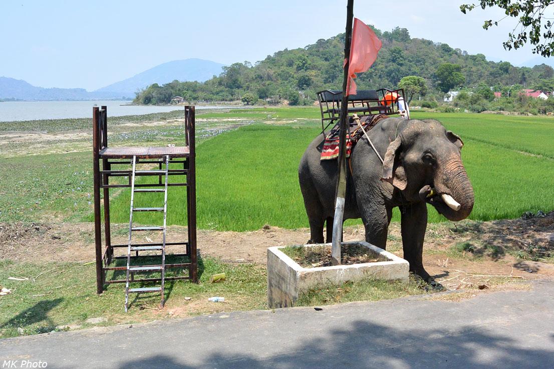 Слон ест тростник