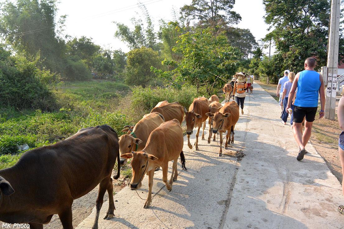 Местные коровы