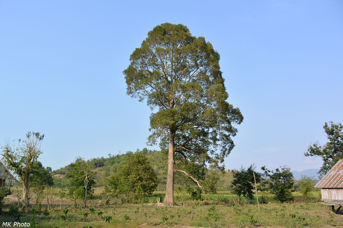 Дерево, из которого делают долблёнки