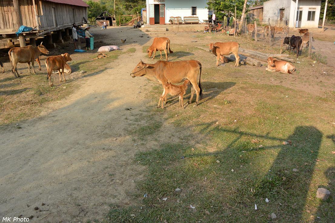 Коровы у дома