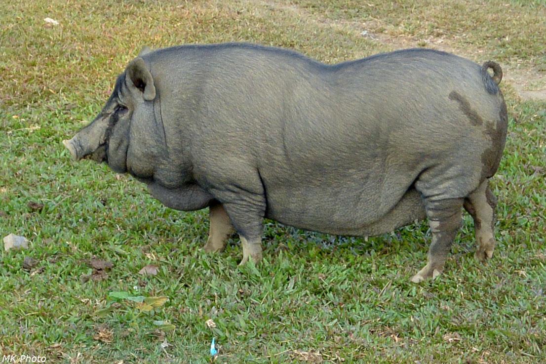 Да, я сытая свинья