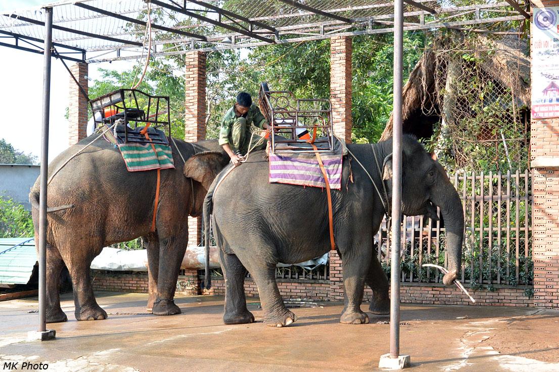 Седлание слонов