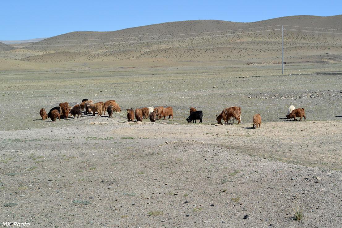 Мохнатые козы