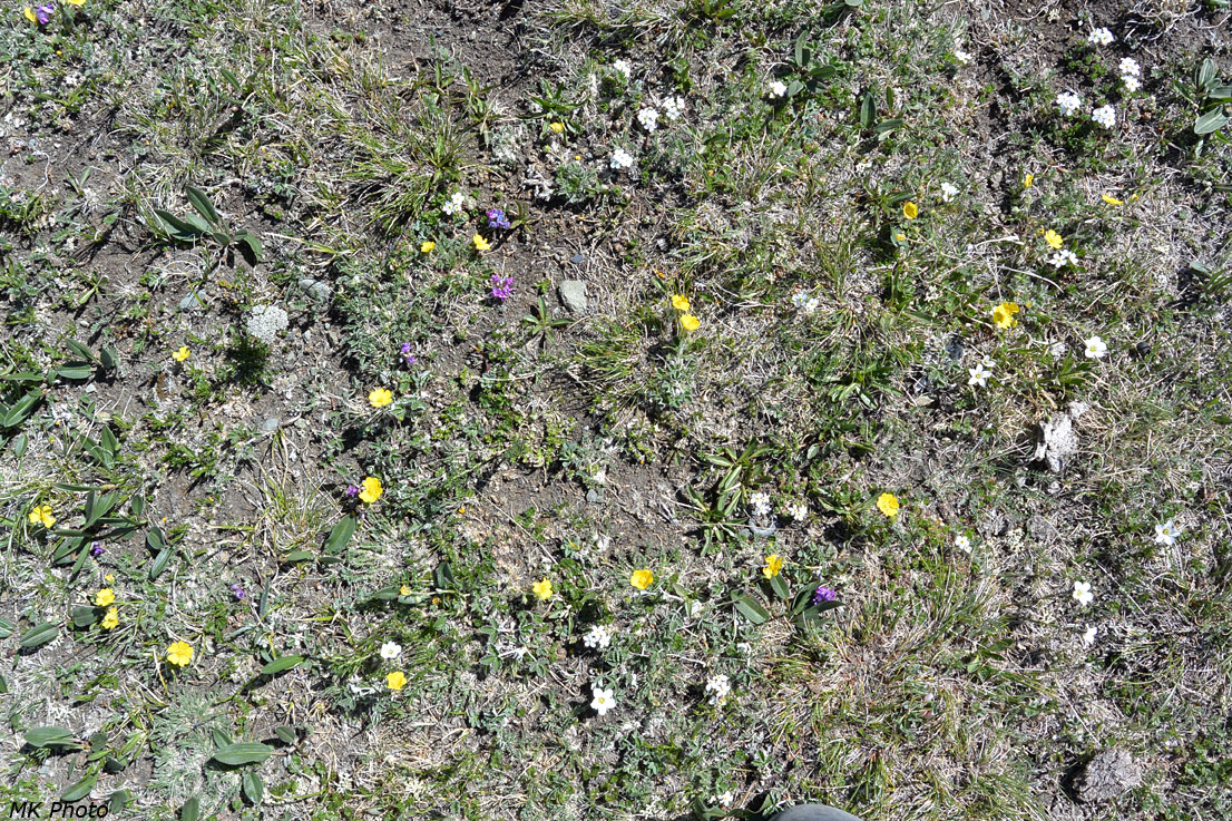 Цветы на перевале Байрмын-Даба