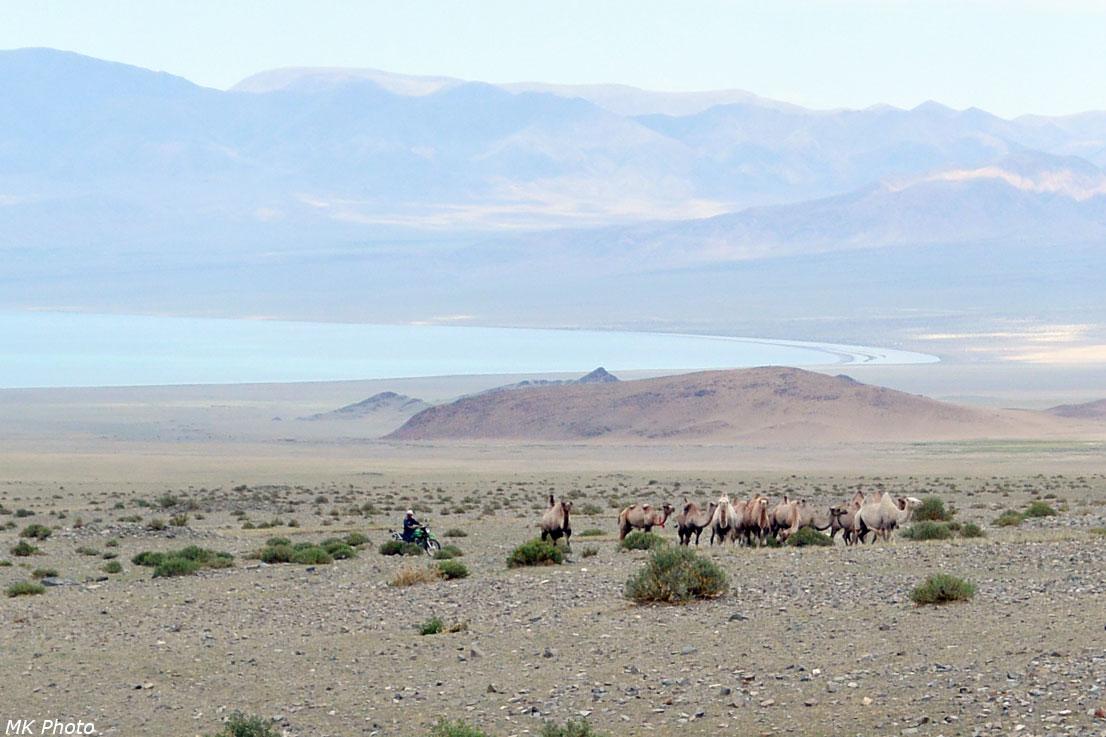 Верблюды и погонщик-мотоциклист