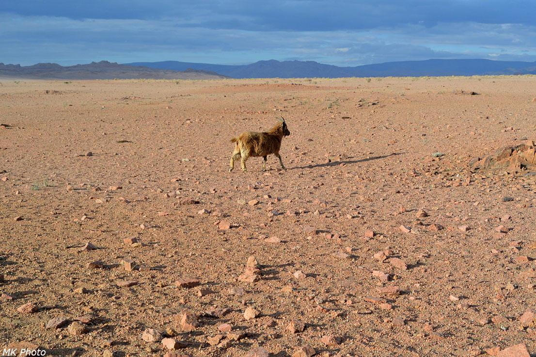 Одинокая коза