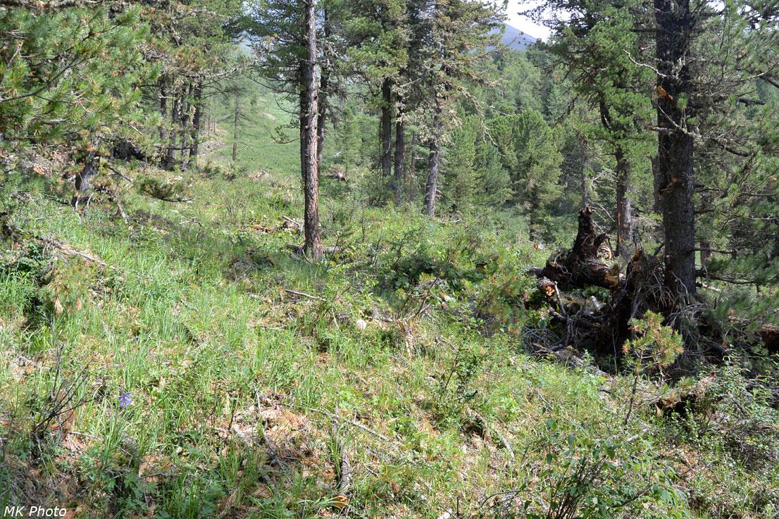 Свежеповаленные деревья