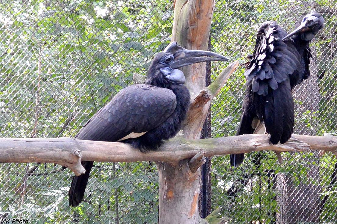 Рогатые вороны
