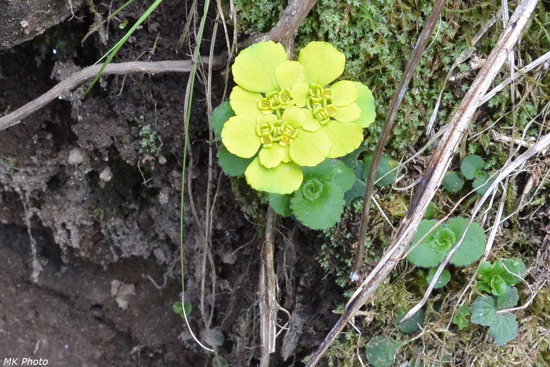 Жёлто-зелёный цветок