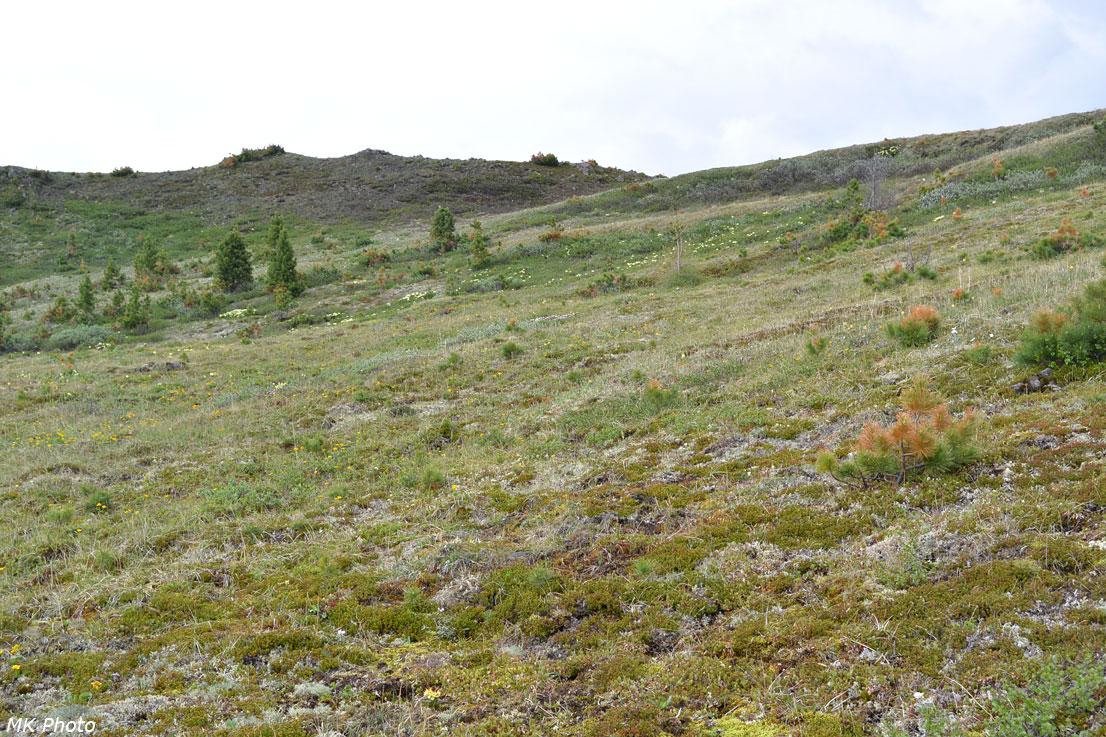 Кедровое редколесье