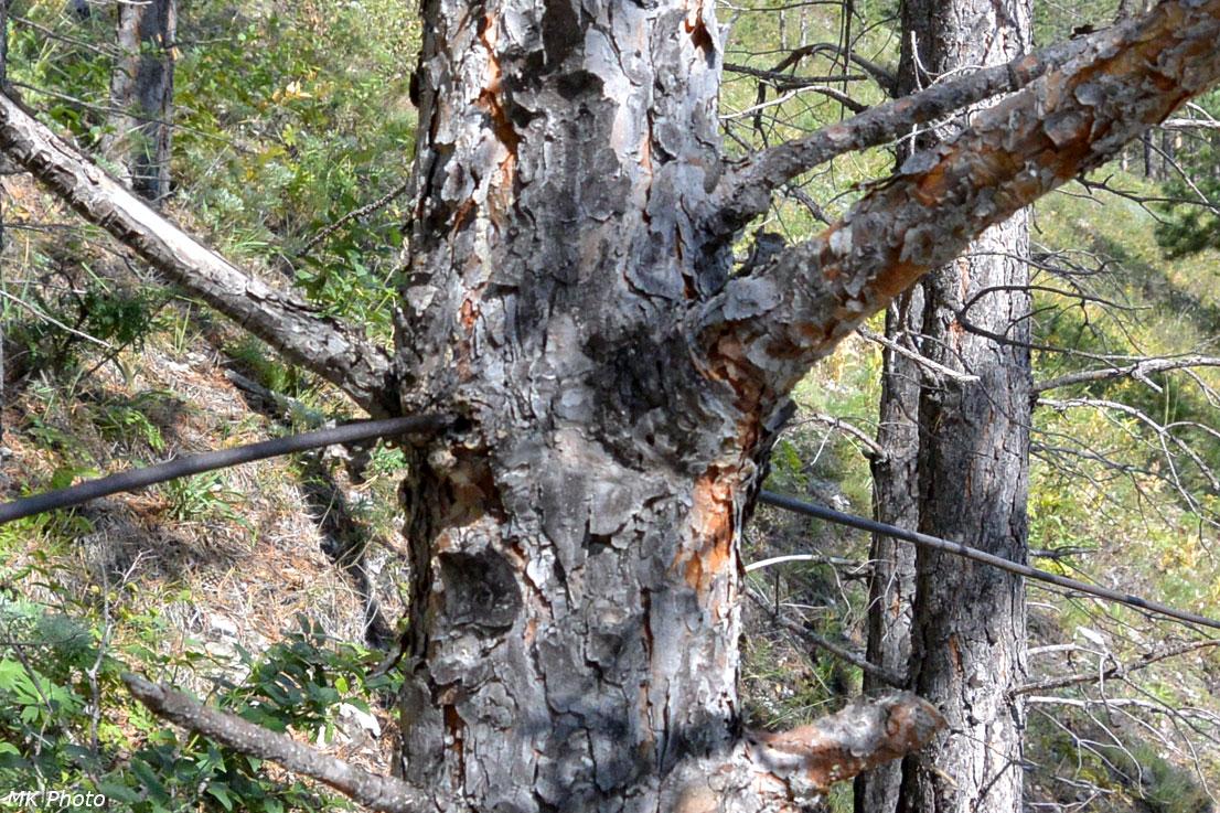 Дерево проросло через проволоку