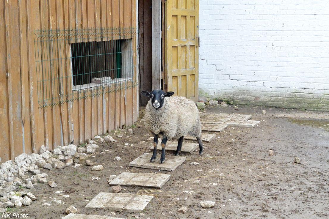 Монастырская овца