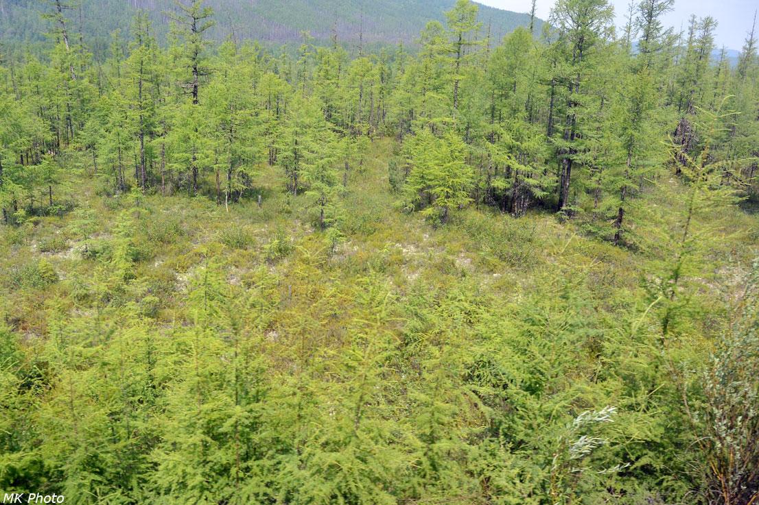 Лиственницы на болотистой почве