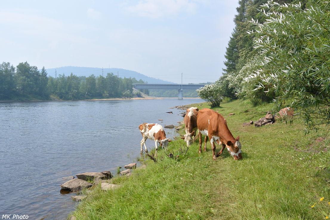 Коровы на берегу Тынды