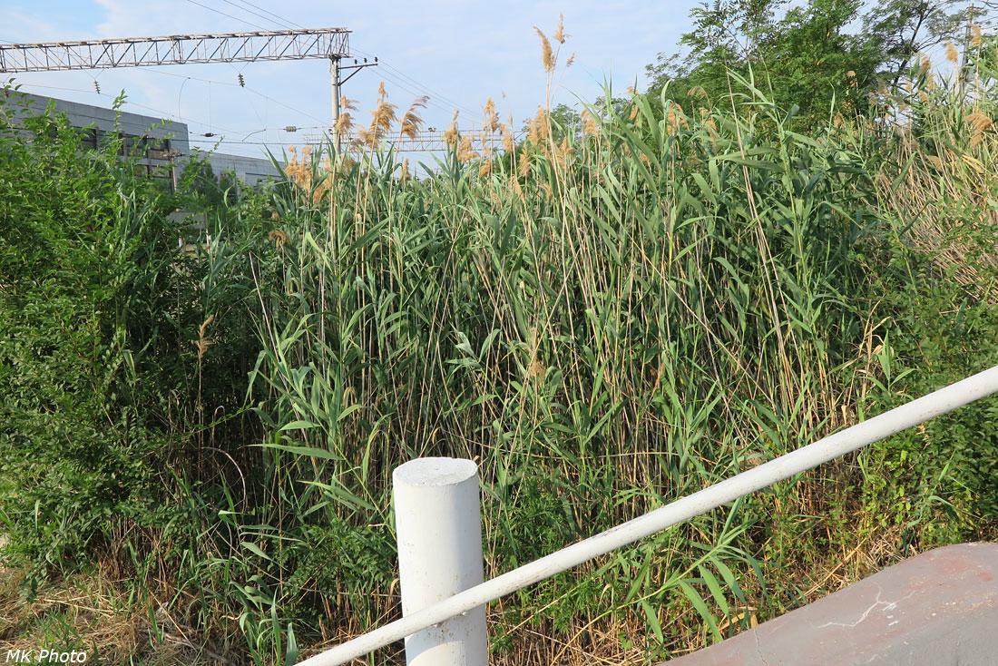 Двухметровые травы