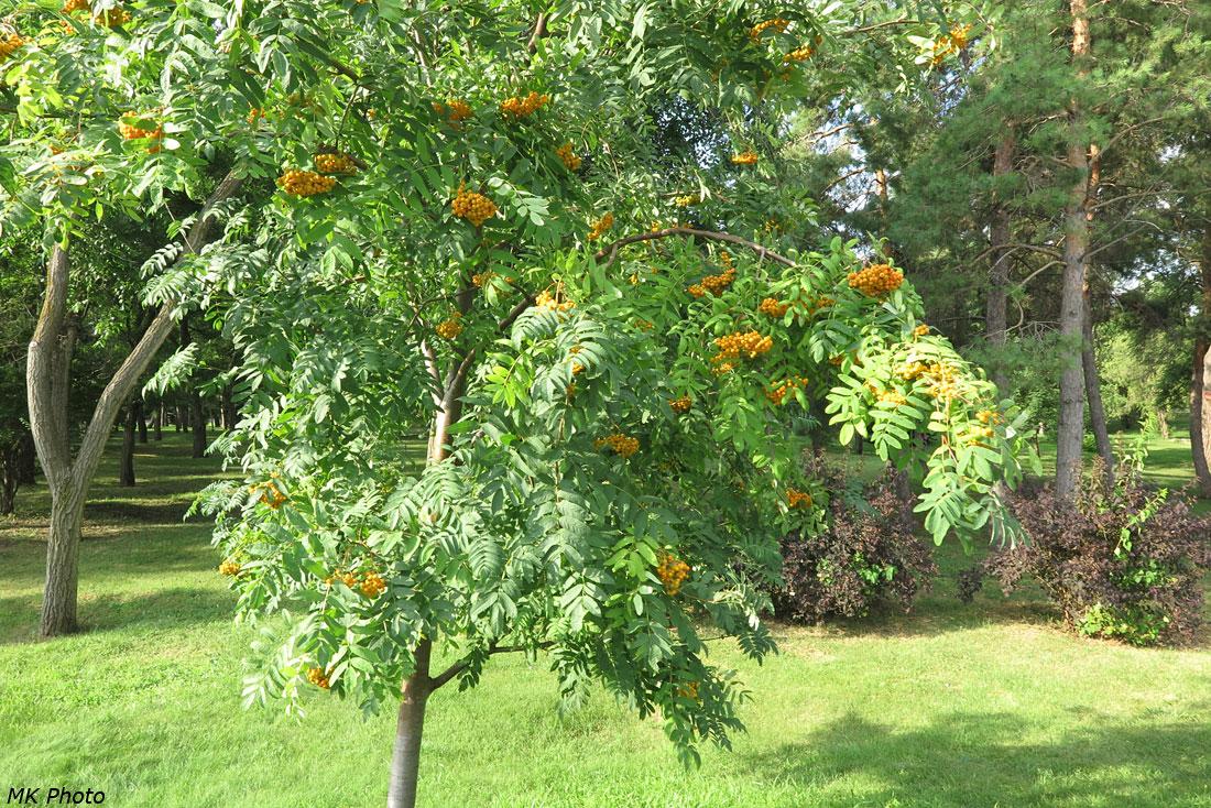 Куст с оранжевыми ягодами