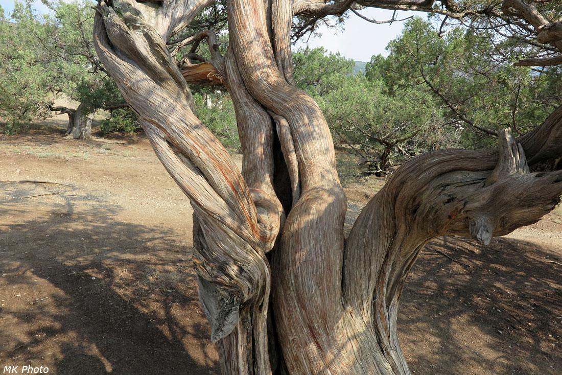 Можжевеловое дерево